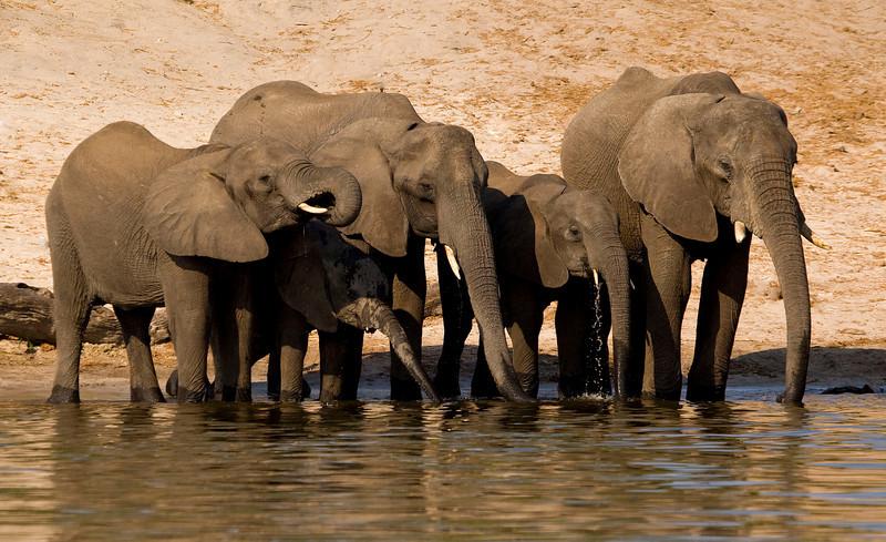 Elephant family at the Chobe river, Botswana