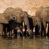 Elephant family at the Chobe river, Botswana