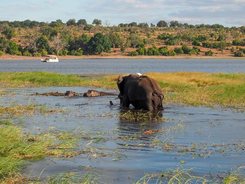 Elephant chasing hippos in the Chobe River