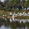 Great White Egrets wait patiently for the spawning Barbel fish to approach and push thousands of small fish to the shallow part of the bank for them to eat.