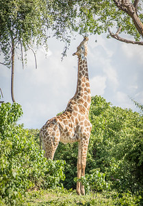Reaching Giraffe