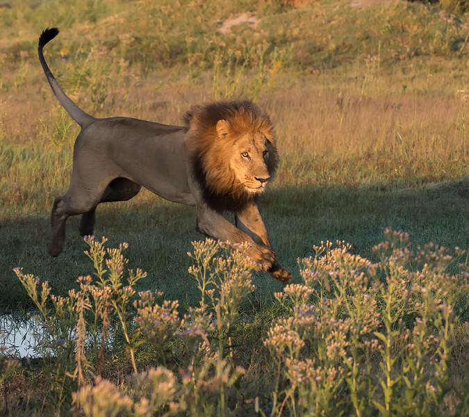 Male Lion Leaps From The Shadows Into The Sun Light