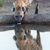 A spotted hyena (crocuta crocuta) pauses from its morning rounds for a drink