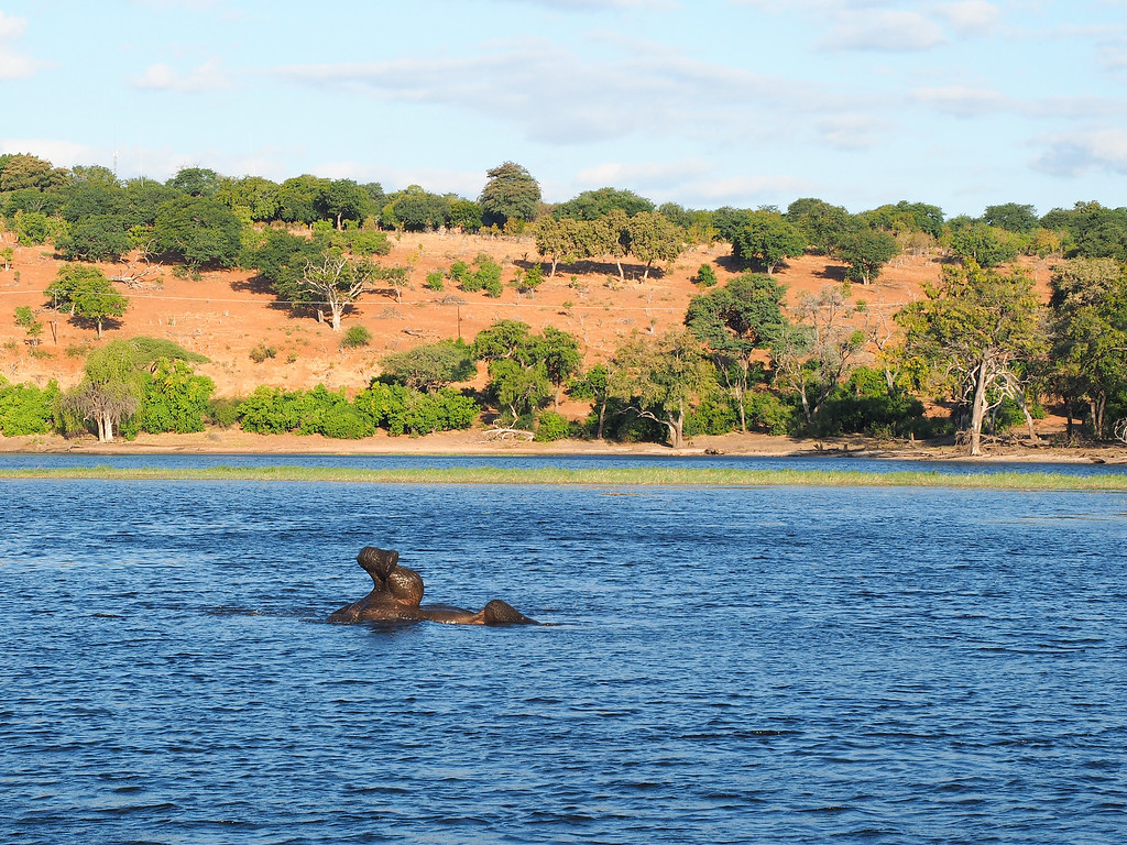 Swimming elephant in the Chobe River