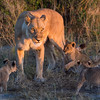 As the sun rises and her two month old cubs start to stir, their mother maintains a wary watch for dangers to the cubs