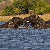 Two Males play fighting - Chobe river, Botswana