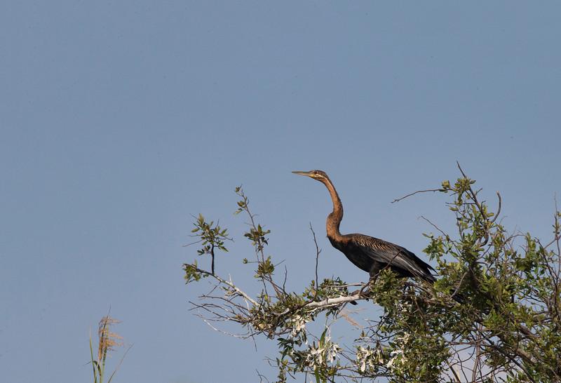 An African Darter, commonly called a Snake Bird, taken in the Okavango Delta, Botswana, Africa.