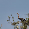 An African Darter, commonly called a Snake Bird, taken in the Okavango Delta, Botswana, Africa.