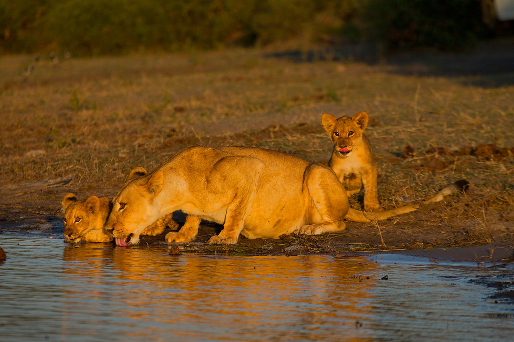 Lioness with her two cubs drinking from the Chobe River in Botswana in the last rays of a setting sun. May 2011