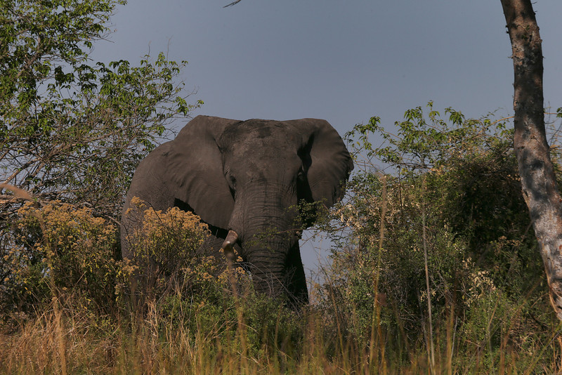 Male with mssing tusk, most probably lost in a fight during mating season