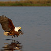 African Fish Eagle heads for a fish, Chobe botswana