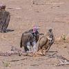 White-headed Vultures