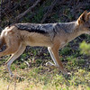 Black Backed Jackal near her den, where she had one small pup in hiding