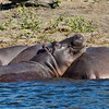A pod of Hippos enjoys the afternoon sun on the bank of the Chobe River. Shot taken from a raft as we drifted past them. This male, content that we meant no harm allowed us to pass without incident.