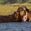 Hippos bellowing