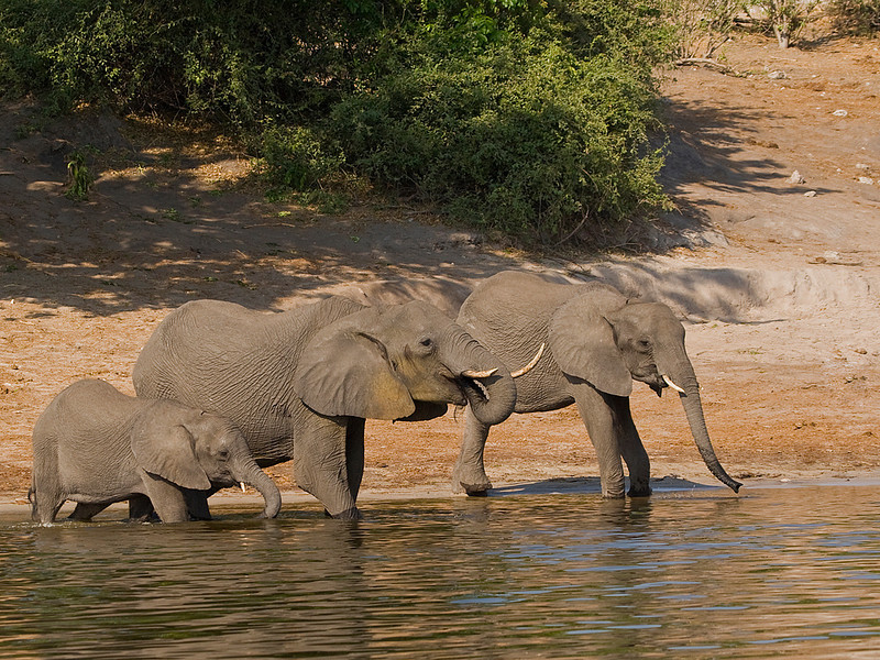 Three Generations of Elephants drink from the Chobe River, Botswana