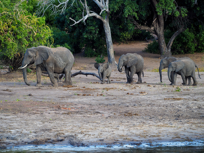 Family of elephants in Chobe National Park