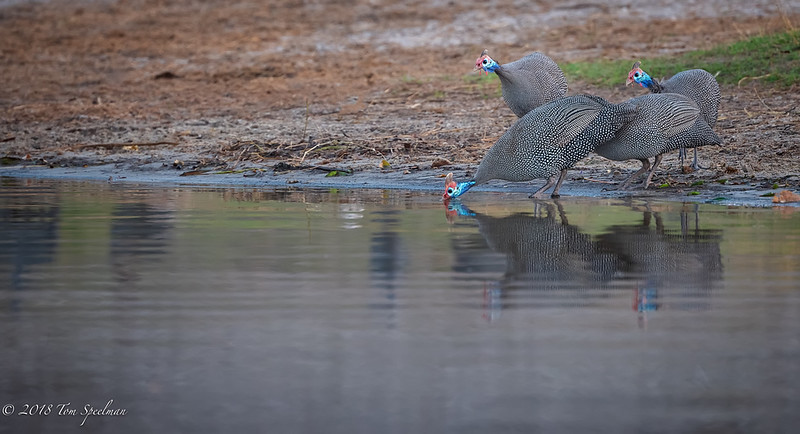 Helmeted Guineafowl Take A Nervous Drink