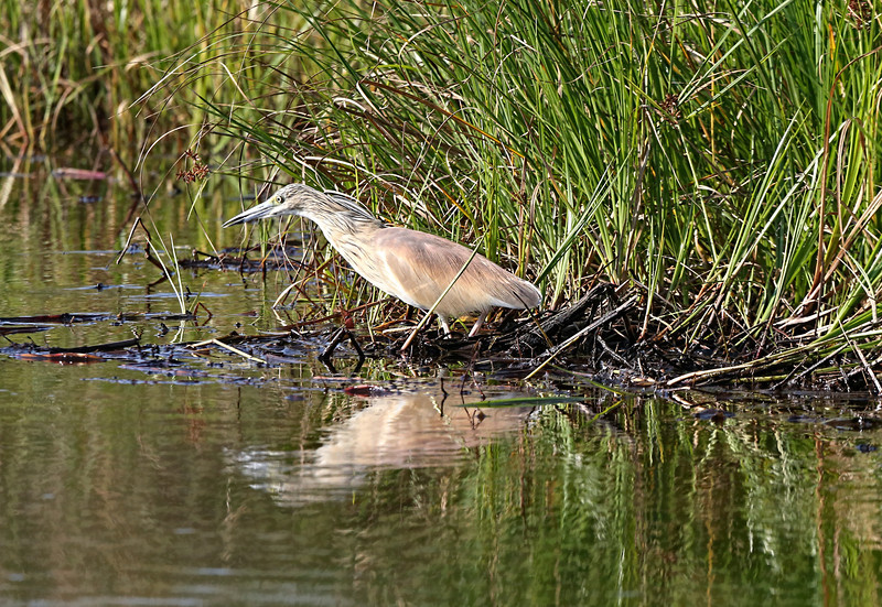 A Squacco Heron fishing on the banks of the Okavango River.