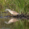 A Squacco Heron fishing on the banks of the Okavango River.