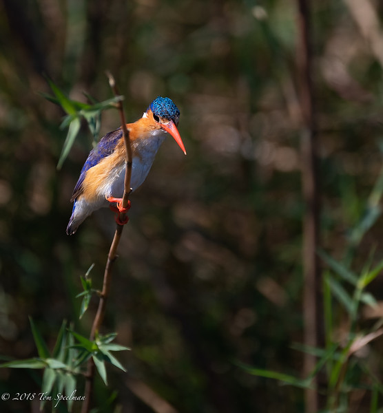Malachite Kingfisher On Alert For A Meal