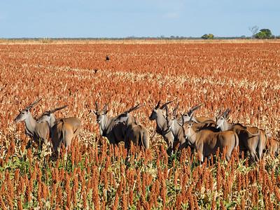 Eland in Botswana