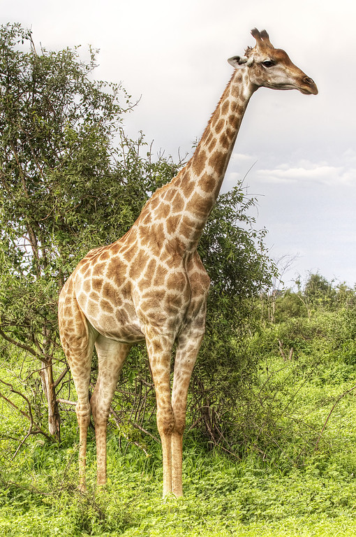 Giraffe posing in Chobe National Park, Botswana surrounded by greenery.