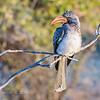 Southern Red-billed Hornbill:  Chobe Riverfront, Chobe National Park, Botswana
