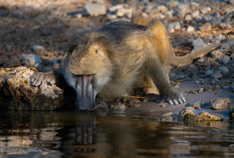 A Cool Drink For A Thirsty Baboon