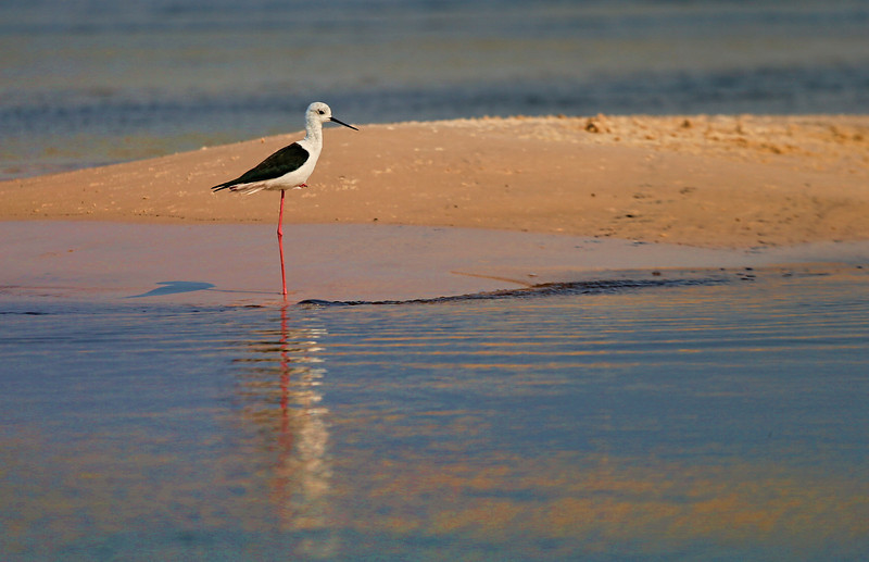 Black-winged Stilt (Himantopus himantopus),  taken in the Okavango River Delta, Botswana, Africa