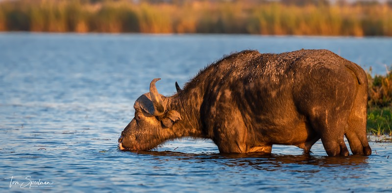 A Drink From The Chobe River