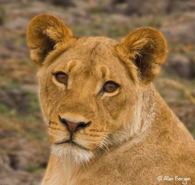 Female Lion, Botswana