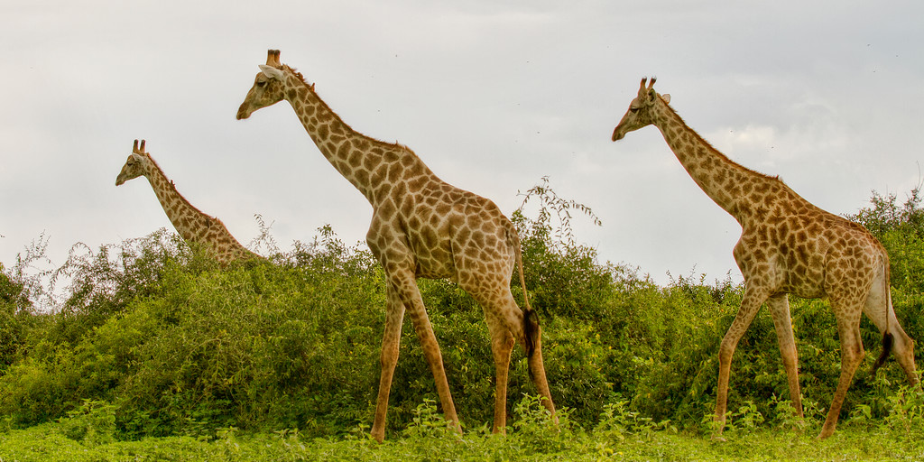 Three giraffe walking in the Chobe National Park, Botswana surrounded by greenery