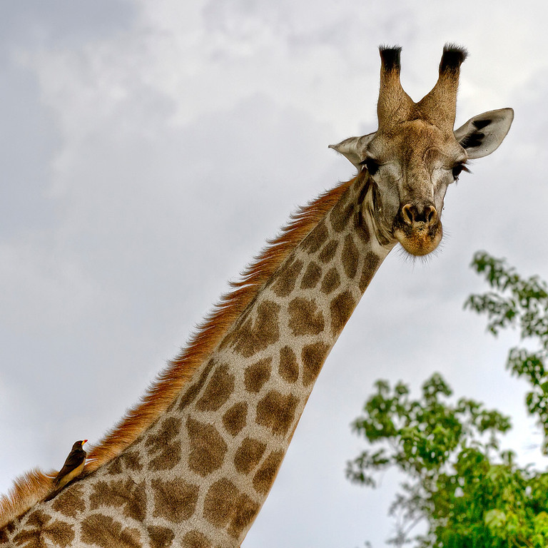 Close-up of giraffe face and neck with small bird resting on the mane in Botswana.