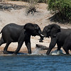 Two young male elephants spar playfully after taking a swin in the Chobe River, Botswana, Africa.