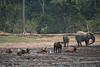 Forest buffalo and forest elephants, Dzanga Bai