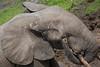 Forest elephant, Dzanga Bai