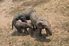 Forest elephants, Dzanga Bai