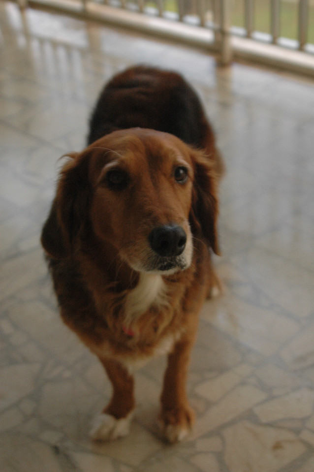 Ambassadorial Dog