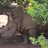 Our first sighting of the Big 5 - a rhino