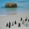 The colony of African jackass penguins
