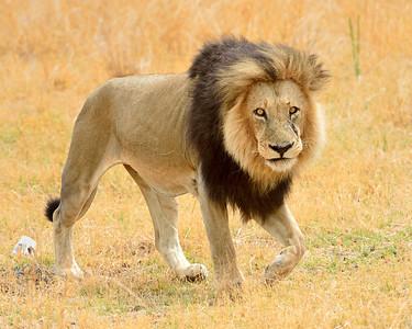Male Lion 4