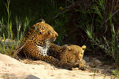 Leopards Mating 1