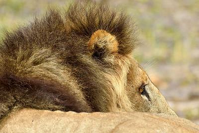 Male Lion 5