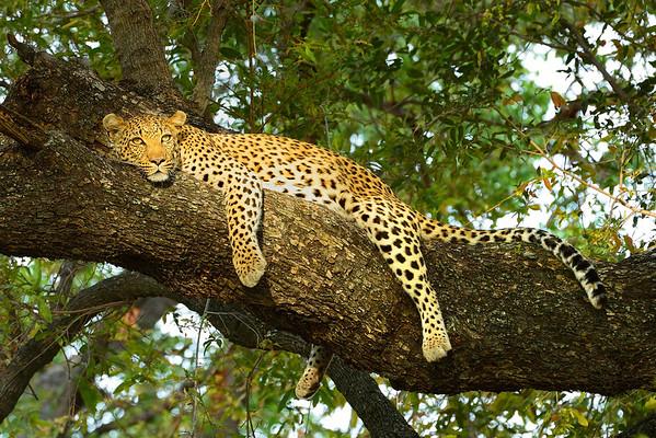 Leopard in Tree 1