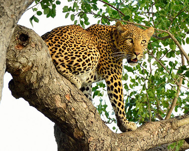 Leopard on Watch - M