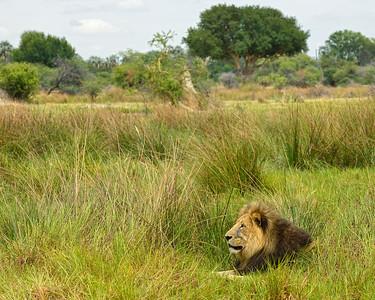 Male Lion 6