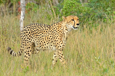 Cheetah on Stroll