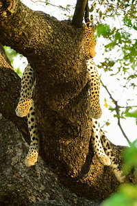 Leopard Nap in Tree