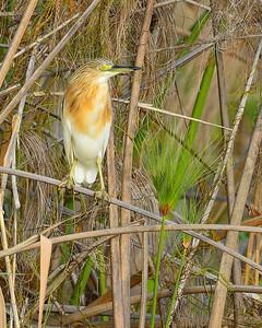 Squacco Heron in Reeds
